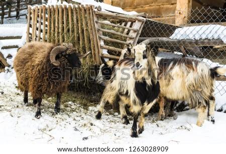 Goats and sheep on the barnyard near feeders in the village, farm, Ukraine