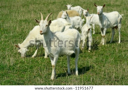 Goats and young goats on grazing