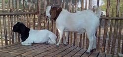 goats are economic animals that are easy to raise and breed twice a year, 1-3 per year. Nowadays, people have begun to consume goat meat and goat milk.