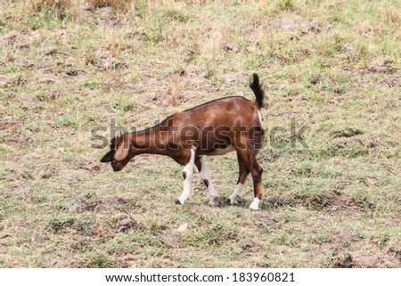 Goats are friendly animals as animals grow faster. Mammals And can also lead to drinking milk as well.