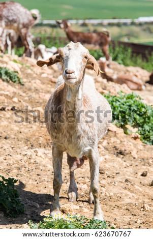 Goats at livestock farm, milk production and farming #623670767