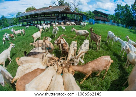Goats eating grass, Goat on a pasture, Goat on a pasture of Chiangmai Thailand #1086562145