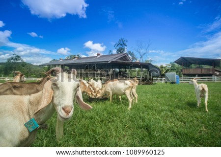 Goats eating grass,Goat on a pasture,Goat on a pasture of chiangmai thailand #1089960125