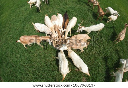 Goats eating grass,Goat on a pasture,Goat on a pasture of chiangmai thailand #1089960137