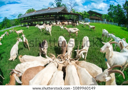 Goats eating grass,Goat on a pasture,Goat on a pasture of chiangmai thailand #1089960149