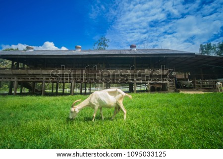 Goats eating grass,Goat on a pasture,Goat on a pasture of chiangmai thailand #1095033125