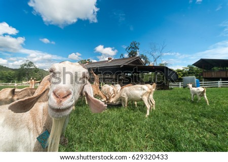 Goats eating grass,Goat on a pasture,Goat on a pasture of chiangmai thailand