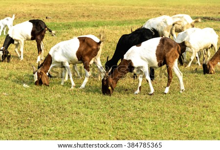 Goats eating grass on a pasture