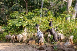 Goats eating green leaves from a bush, domastic goats eating leafs in forest