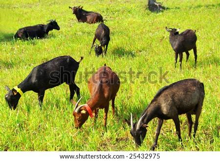 Goats  grazing in farm.