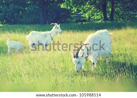 goats grazing in the green field