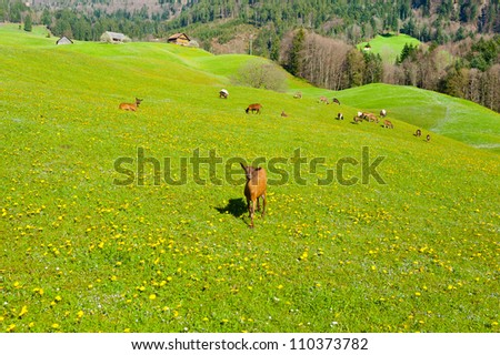 Goats Grazing on Green Pasture in Switzerland