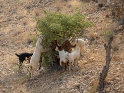 Goats grazing on shrub at ancient Ranikot fort known as the great wall of Sindh in Jamshoro, Sindh, Pakistan