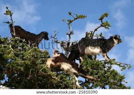 GOATS IN AN ARGAN TREE - stock photo