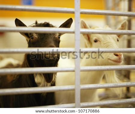 Goats in animal pen looking through bars