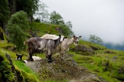 Goats in mountain landscape, Norway