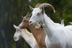 Goats in nature. Profile portrait of three goats.