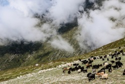 Goats in the Balkan Mountains, Durres, Albania