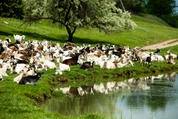 Goats in the meadow with a beautiful sky in summer day. A herd of goats in a pasture. Beautiful summer landscape with a goat. Beautiful summer landscape in Republic of Moldova. Green landscape.
