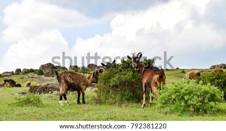 Goats in the wild #792381220