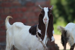 Goats of indian breed beautiful goats in animal farm goat is an important dairy animal selective focus