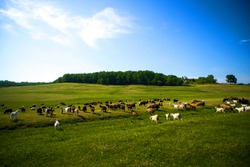 Goats on a green meadow. Spring time