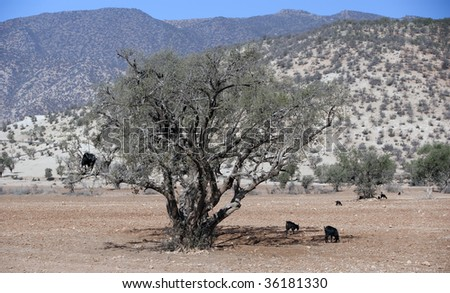 Goats on argana tree in Morocco