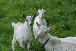 Goats on family farm. Herd of goats playing. Goat with her cubs on the farm. Family of a mother and her children
