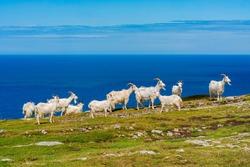 Goats on Great Orme, Llandudno, Wales. Selective focus