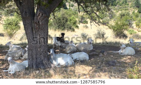 goats resting in the shades