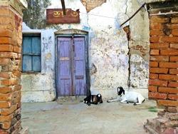 goats sitting in front of door entrance, Rajshahi, Bangladesh