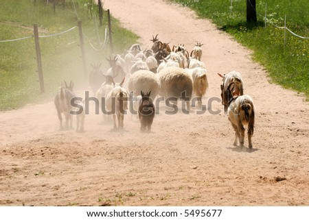 Goats walking down the road