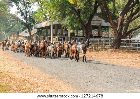 Goats walking on the road in the farm