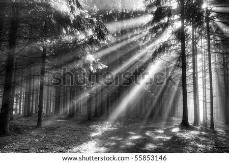 God beams - coniferous forest in the early morning - stock photo