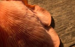 Goergous fresh pink oyster gourmet edible mushrooms background