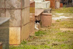 GOIANIA GOIAS BRAZIL - JANUARY 12 2021:  Abandoned cat. Abandoned cat in a cemetery in the city of Goiânia. Black and white spotted cat face, between tombs.