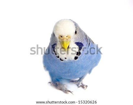 going budgie in front of a white background
