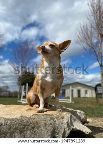 Gold and white colored short haired chihuahua is outdoors sitting on rock sunning itself with relaxed expression on cute face at the canine enrichment training center  Stock foto ©