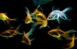 Gold and white Gold fishes in black background