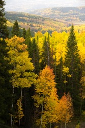 Gold Aspen trees in peak fall foliage autumn color, Colorado, USA.