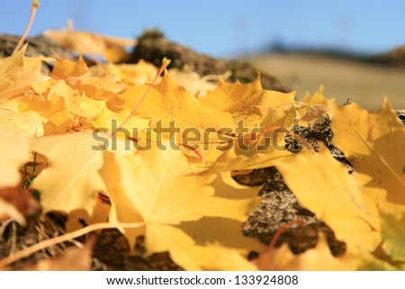 Gold autumn leaves maple by sunset , season specific