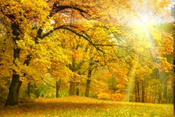 Gold Autumn with sunlight  and sunbeams / Beautiful Trees in the forest