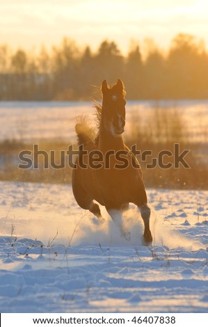 gold bay horse in winter runs front