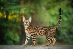 Gold Bengal Cat Walk on plank outdoor, side view, nature green background