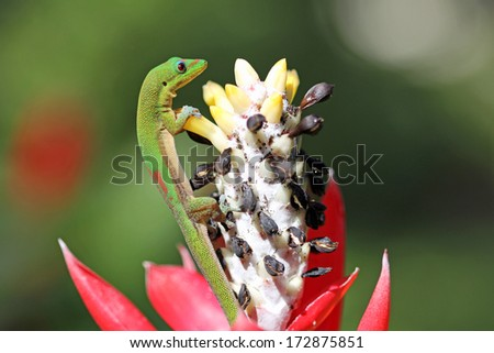 Gold Dust Day gecko climbing the  flower - stock photo