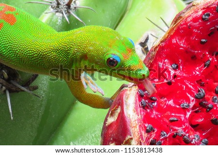 Gold dust day gecko licking the juicy red fruit of a green cactus at Moir Gardens, Kauai, Hawaii