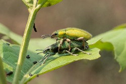 Gold Dust weevill on maiting , Gold-dust weevils' Fertilization. A Kind of Bugs or Insects Fertilization , Bugs Maiting