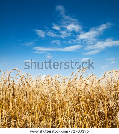 gold ears of wheat under deep blue sky