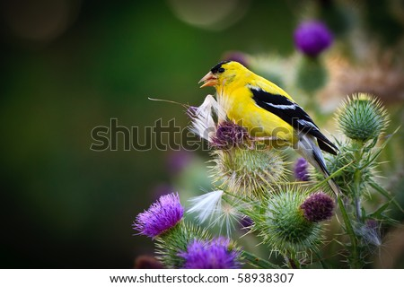 Gold Finch eating thistle seeds.