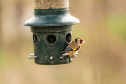 Gold Finch on a bird seed feeder at the RSPB, Burton Mere Wetlands